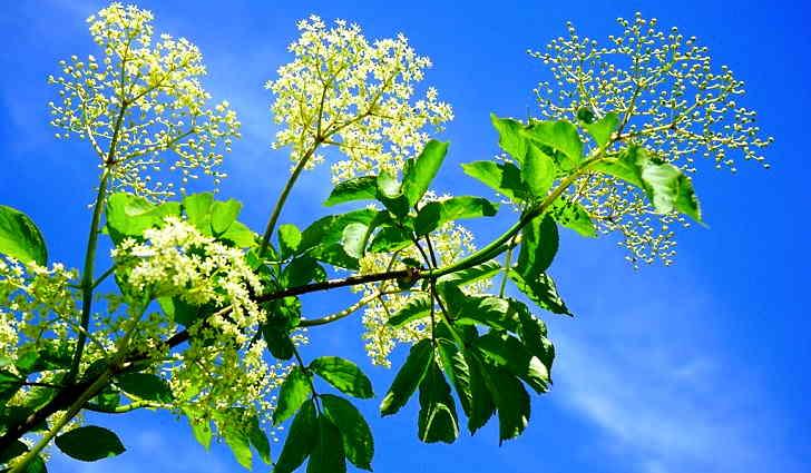 Цветки бузины черной в рецепте лечения тахикардии