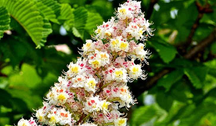 Цветки каштана конского в рецепте лечения тахикардии