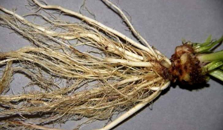 Настойка корней первоцвета