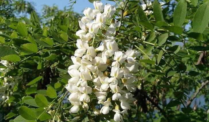 Софора японская - лекарственное растение